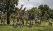 Giraffes are also facing extinction. (© picture-alliance/dpa)